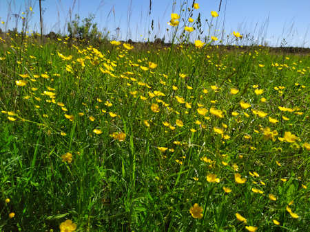 A beautiful colorful meadow of wildflowers. Summer. Green meadow in sunlight. Yellow flowers on the field.