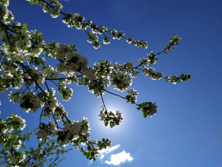 Apple blossoms bloom on a spring day. Lots of white flowers. Apple. There's a blue sky in the background. The awakening of nature. Background. Copy space for text. Plant.