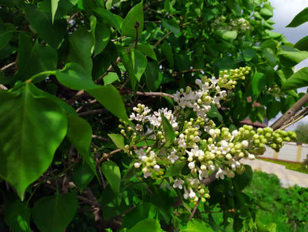 Lilac. White lilac flowers on a branch. Green Tree with flowers. There are green leaves in the background. Spring flowers. Plant. Map. Background. Texture. Copy the place for text