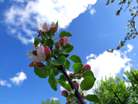Apple flowers bloom on a spring day. Lots of white flowers. Apple. There's a blue sky in the background. The awakening of nature. Background. Copy the place for text. Plant.