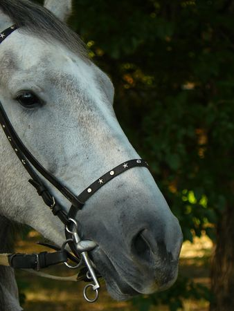 Adult beautiful grey-white horse and leather bridle Stock Photo