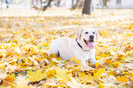 Cute dog lying on the foliage in the autumn park