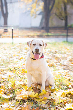Beautiful Labrador sits in the autumn park