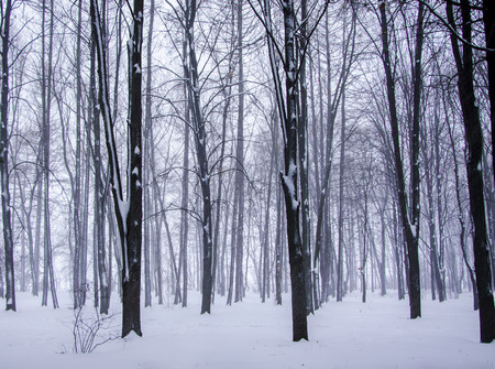 Beautiful trees in winter forest in Russia photo