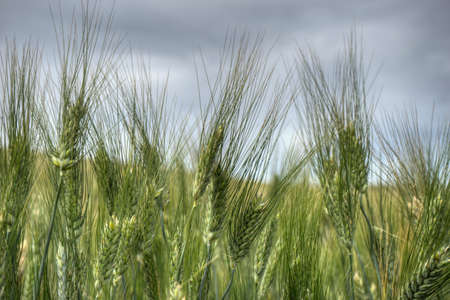 workable: Ears of wheat Green an