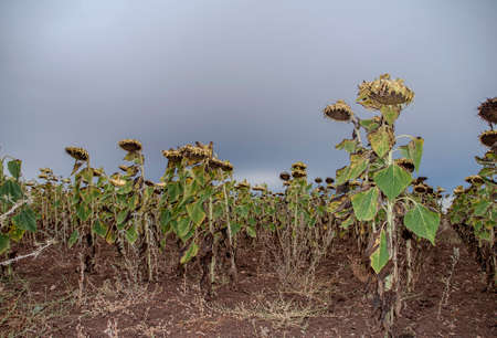 cultivated land: Sunflowers cultivated land and dry Stock Photo