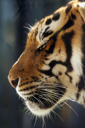 living beings: Big cats, tiger head