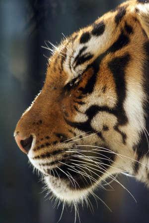 seres vivos: Los grandes felinos, cabeza del tigre