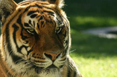 seres vivos: El tigre, gatos grandes
