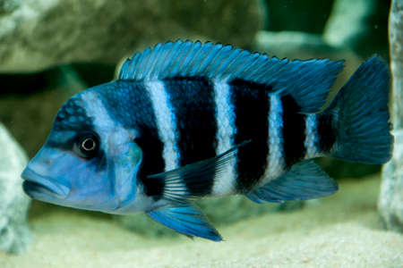 cyphotilapia: zaire frontosa of Lake Tanganyika blue species