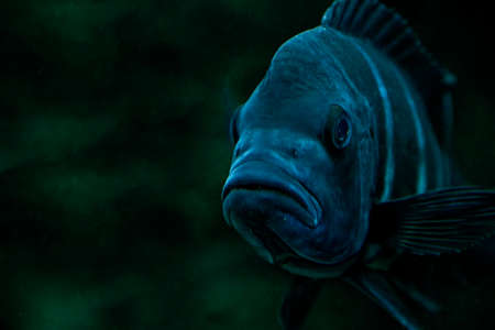 blue fish: fish species from Lake Tanganyika frontosa blue zaire Stock Photo