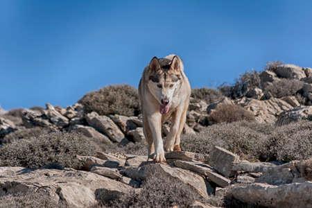 malamute: beautiful malamute dog breed gray wolf Stock Photo