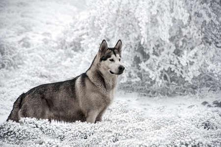 Beautiful malamute in a snowy environment