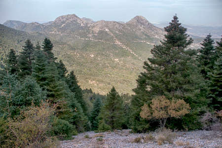 Pinsapar of the Grazalema Natural Park in the province of Cadiz, Andalusia, Spain