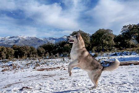 malamute: Beautiful malamute in a snowy environment