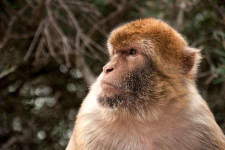 Famous monkey of the Rock of Gibraltar Banco de Imagens