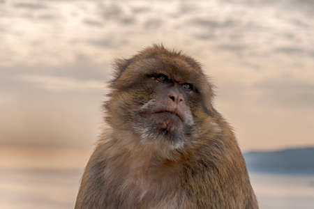 monkey of Gibraltar and that lives in the high areas of the rock