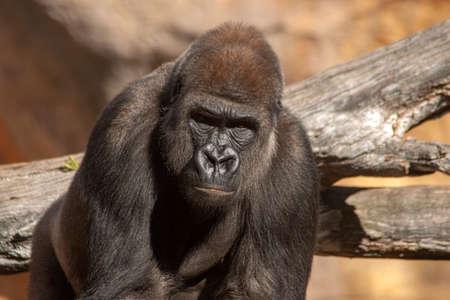 Wild African animals, Gorilla Foto de archivo