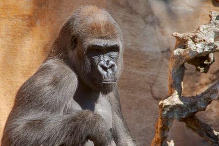 Wild African animals, Gorilla