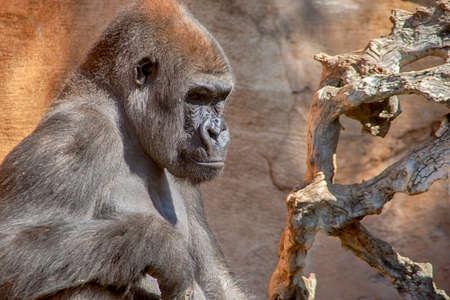 Adult Gorilla Male