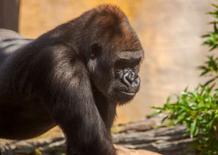 Gorila adulto macho