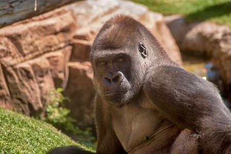 Adult male gorilla Foto de archivo