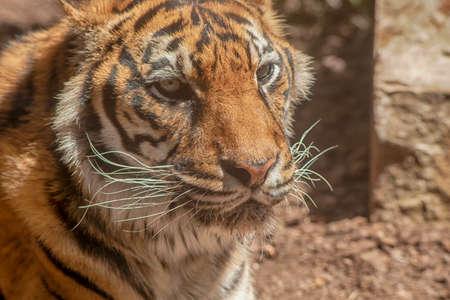 grandes felinos, tigre de Sumatra