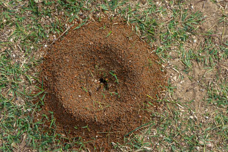 small ant nest on the lawn