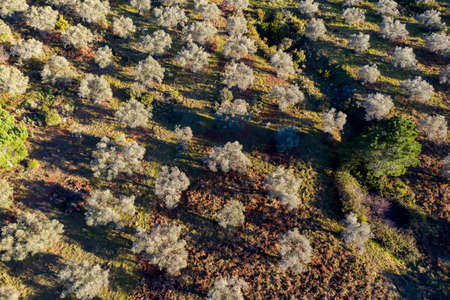 aerial view of an olive grove in Andalusia 스톡 콘텐츠 - 138426203