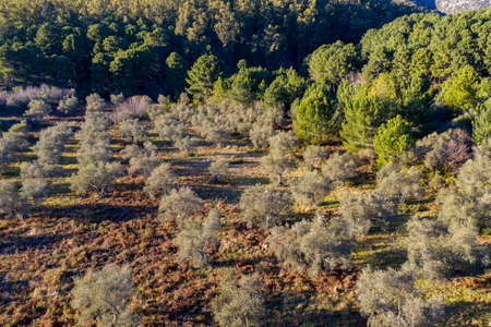 aerial view of an olive grove in Andalusia 스톡 콘텐츠