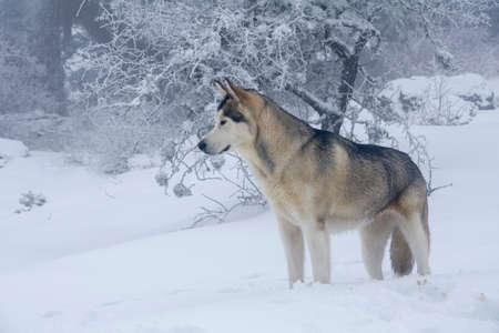 beautiful Alaskan Malamute in a foggy and snowy environment Фото со стока