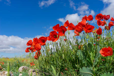 beautiful poppies in the spring season