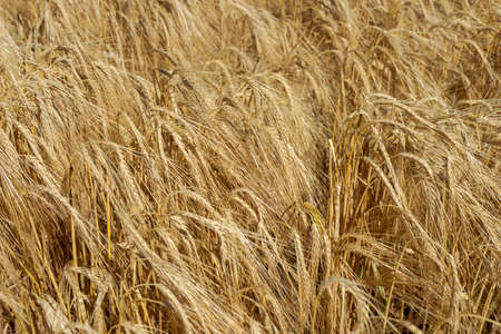 dried and golden wheat spikes