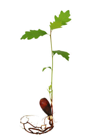 Young oak tree sprouting from acorn with several leaves and roots. Stock Photo