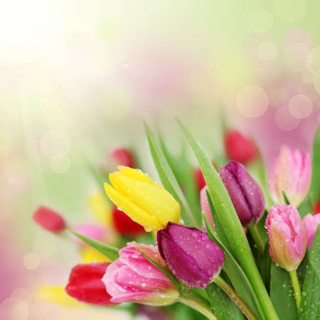 Colorful fresh spring tulips flowers with dew drops photo