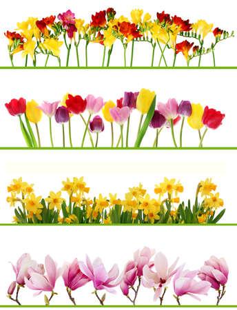 borde de flores: Coloridas flores frescas de las fronteras de primavera en el fondo blanco. Los tulipanes, narcisos, Fresia, magnolia. Foto de archivo