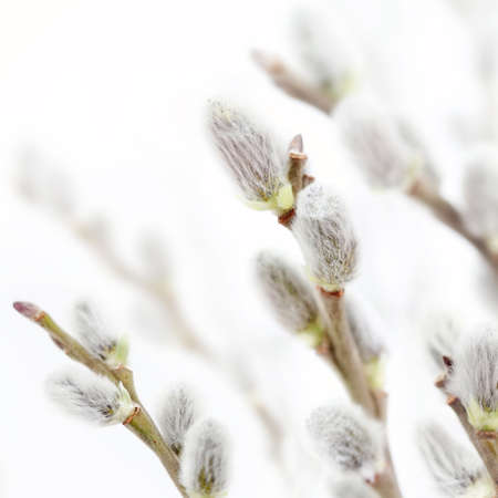 Beautiful fresh pussy willow flowers branches. Soft floral spring background with very shallow DOF on white. Stock Photo - 18013901
