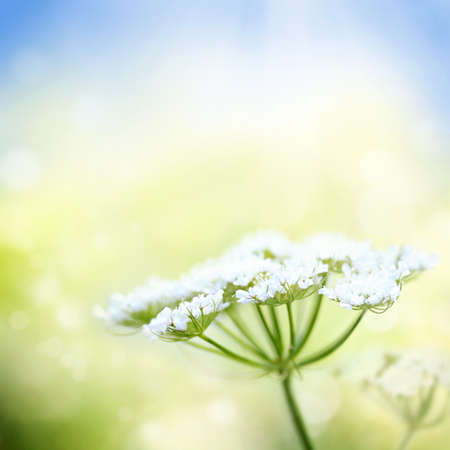 White wild carrot flower on a beautiful nature spring or summer bokeh background with blue sky and green grass. Very shallow focus. Stock Photo