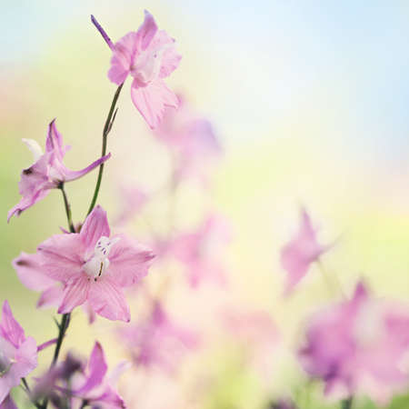 Beautiful spring or summer larskput flowers on creamy bokeh nature background