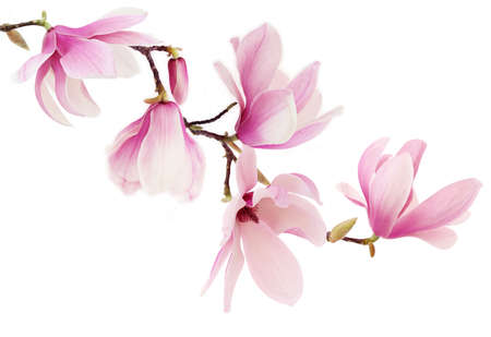 ramificación: Hermosas rosas magnolia flores de primavera en una rama de árbol