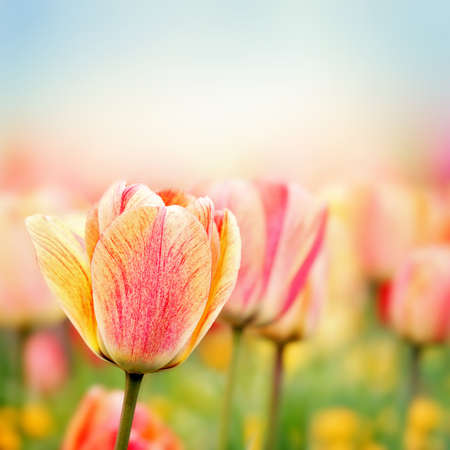 Colorful fresh spring tulips flowers field