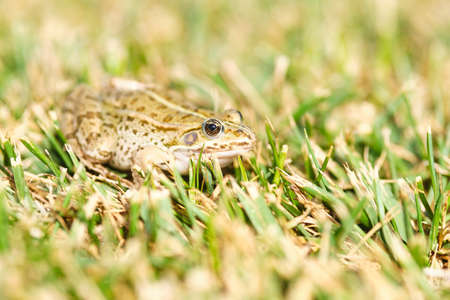 Frog in the grass, selective focus on the eye. Narrow depth of field, green yellow grass bokeh. Archivio Fotografico