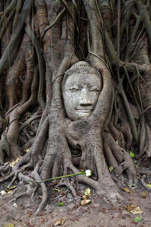 strangler: Famous buddha head strangled by tree at Wat Mahathat in Ayutthaya, Thailand