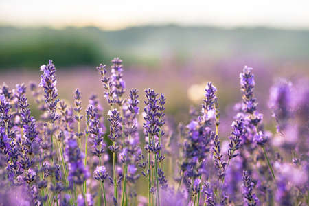 Beautiful detail of scented lavender field in perfect radiant morning light. Stock Photo
