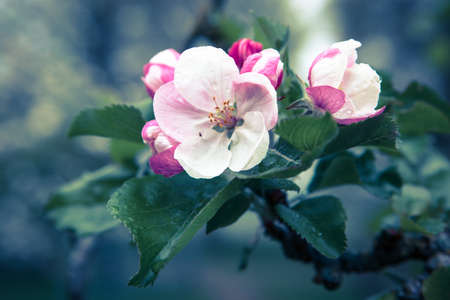 Apple blossom with morning dew