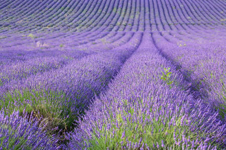 Rows of scented lavender in a field