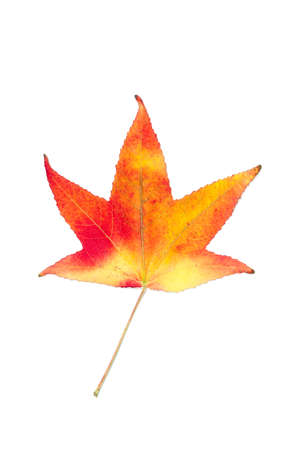 Autumnal colour change in a maple leaf Stock Photo