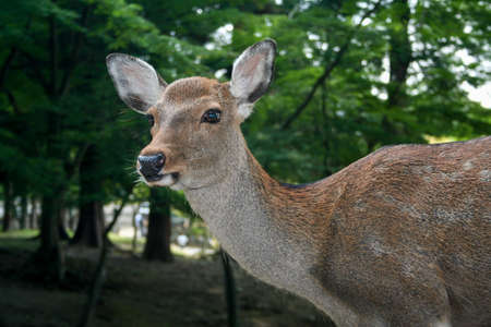 Tame deer wander around the city centre of Nara, Japan. Stock Photo