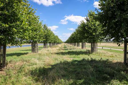 공원에서 젊은 나무의 긴 애비뉴. 스톡 콘텐츠