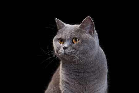 Portrait of a grey cat on black background. Stock Photo